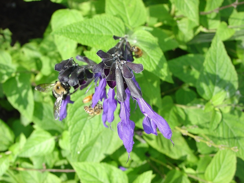 salvia guaranitica opiate receptors